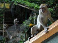 Monkeying around in Malaysia